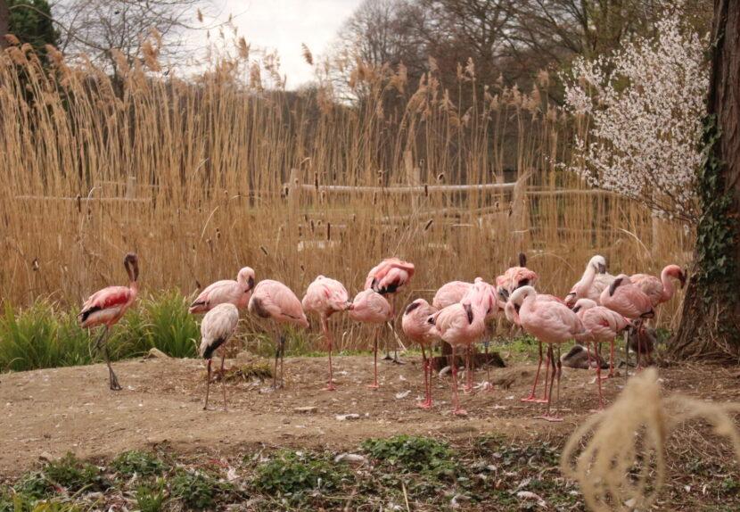 Eine Flamingo-Herde unter freiem Himmel. Im Hintergrund ragen große Schilfhalme hervor.